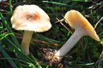 Hygrocybe fuscescens
